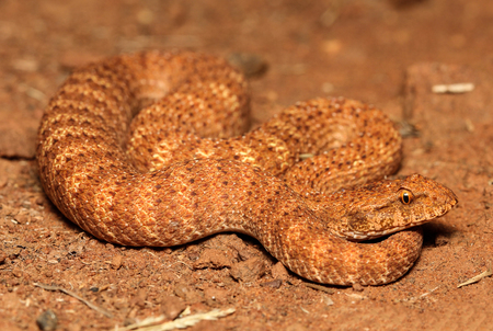 venomous: The desert death adder is a species of snake native to Australia and is one of the most venomous land snakes in the world. The desert death adder is under threat due to the destruction of habitat. Stock Photo