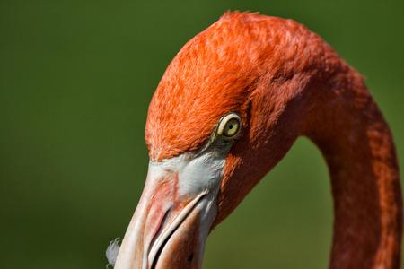 beak: head flamingo tropical bird eyes beak colorful