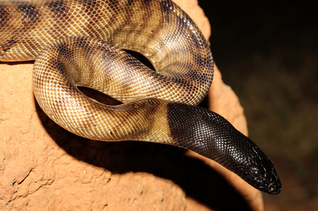 reptillian: Aspidites melanocephalus, commonly known as the black-headed python, is a species of snake in the family Pythonidae. The species is native to Australia. No subspecies are currently recognized.