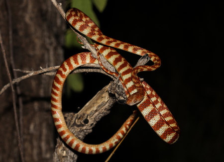 The brown tree snake is an arboreal rear-fanged colubrid snake native to eastern and northern coastal Australia, eastern Indonesia, Papua New Guinea.
