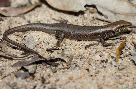 herpetology: Carlia dogare is a species of saurians of the family of Cophoscincopus. This species is endemic to Queensland in Australia. Stock Photo