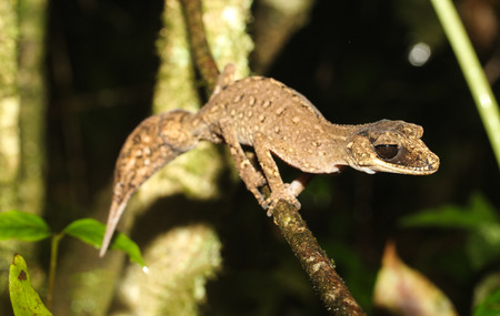 laevis: Carphodactylus laevis, a single representative of the genus Carphodactylus, is a species of gecko of the family Carphodactylidae. This species lives in the tropical forest. Stock Photo