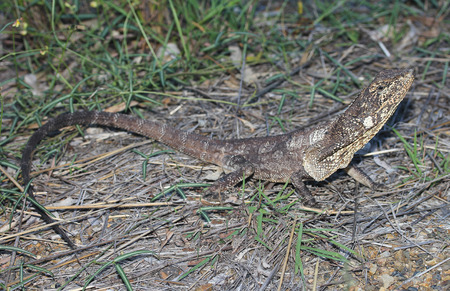 frilled: The frilled-neck lizard, also known as the frilled lizard, frilled dragon or frilled agama, is a species of lizard, which is found mainly in northern Australia and southern New Guinea.