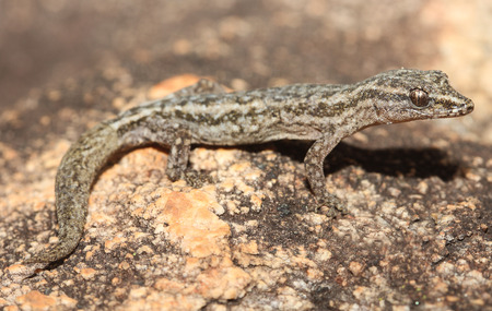 nocturnal: Crenadactylus ocellatus is the smallest species of nocturnal Gekkonidae (gecko) found in Australia. Their most obvious distinguishing feature is the lack of terminal claws on the digits.