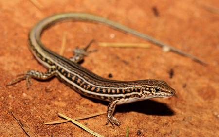 occurs: Ctenotus schomburgkii is a species of saurians of the family of Cophoscincopus. This species is endemic to Australia. It occurs in Western Australia, the Northern Territory, Queensland.