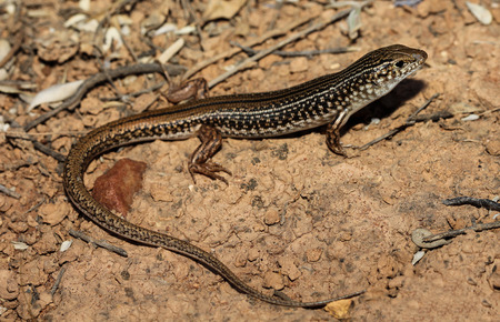 basins: Ctenotus olympicus is a species of saurians of the family of Cophoscincopus. This species is endemic to Southern Australia in Australia. It occurs in the basins of lakes Eyre and Torrens.