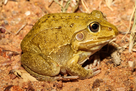 occurs: The giant frog, northern snapping frog, or round frog, Cyclorana australis, is a burrowing species native to Australia. It occurs from western Queensland through to northern Western Australia. Stock Photo