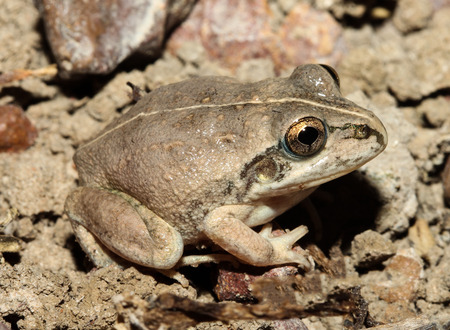croak: The Knife-footed Frog is a species of frog in the Hylidae family. It is endemic to Australia. Its natural habitats are subtropical or tropical dry lowland grassland, intermittent rivers.