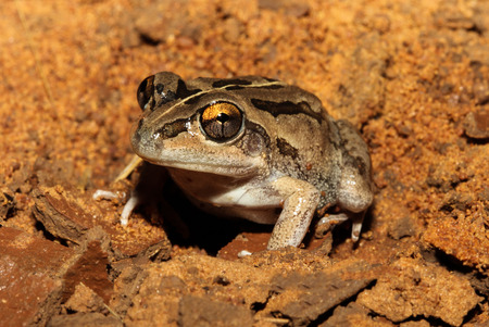 intermittent: The Daly Waters frog is a species of frog in the Hylidae family. It is endemic to Australia. Its natural habitats are subtropical or tropical dry lowland grassland and intermittent freshwater marshes.