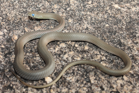The yellow-faced whip-snake is a species of snake in the Elapidae family, a family containing many dangerous snakes. It is endemic to Australia. A long thin snake with a narrow head. Stock Photo