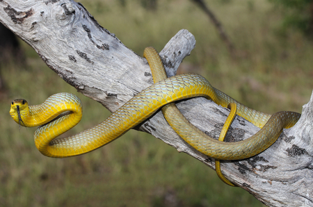 and diurnal: The common tree snake, Dendrelaphis punctulatus, is a slender, large-eyed, non-venomous, diurnal snake of many parts of Australia, especially in the northern and eastern coastal areas.