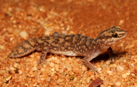 and diurnal: Diplodactylus conspicillatus is a species of gecko in the family Diplodactylidae. This species is endemic to Australia. It occurs in Western Australia, South Australia and the Northern Territory. Stock Photo