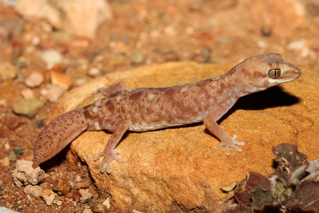 stocky: Diplodactylus tessellatus is a species of gecko in the family Diplodactylidae. This nocturnal gecko is relatively stocky, with a short tail and massive and scales is apparent. Stock Photo