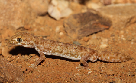 apparent: Diplodactylus tessellatus is a species of gecko in the family Diplodactylidae. This nocturnal gecko is relatively stocky, with a short tail and massive and scales is apparent. Stock Photo