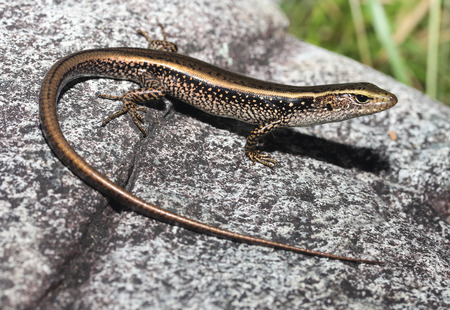 occurs: The Eastern Water Skink, Eastern Water-skink, or Golden Water Skink (Eulamprus quoyii) is a species of diurnal Scincidae that occurs in Australia, primarily in the southeast.