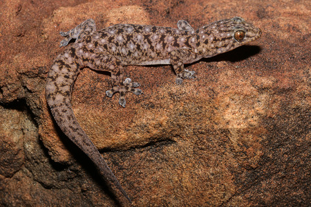 craig: Gehyra moritzi is a species of gecko of the family Gekkonidae. This species is endemic to the Northern Territory of Australia. This species is named in honour of Craig Moritz.