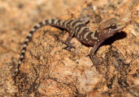 herpetology: Heteronotia fasciolata is a species of gecko of the family Gekkonidae.