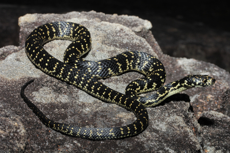 venomous: The Broad-Headed Snake is a venomous snake that is restricted to the Sydney Basin in NSW, Australia. It is one of 3 snakes in the genus Hoplocephalus, all restricted to eastern Australia.
