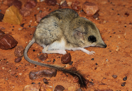 marsupial: The kultarr Antechinomys laniger is a small insectivorous nocturnal marsupial inhabiting the arid interior of Australia. Preferred habitat includes stony deserts, shrubland, woodland, grassland.
