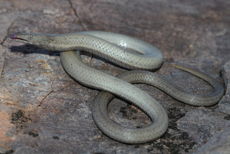 lacks: Burtons legless lizard (Lialis burtonis) is a species of pygopodid lizard which means that it lacks forelegs and has only rudimentary hind legs Stock Photo