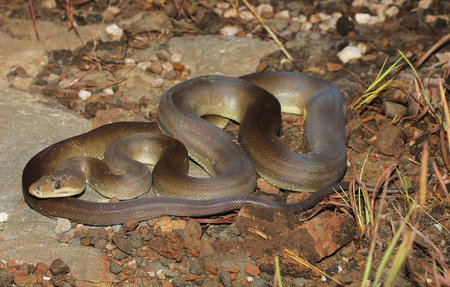 coiled snake: Liasis olivaceus, commonly called the olive python, is a python species found in Australia. Two subspecies are currently recognized, including the nominate subspecies described here. Stock Photo