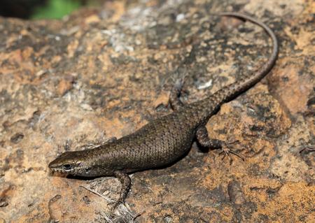 vivarium: Liburnascincus mundivensis is a species of saurians of the family of Cophoscincopus. Stock Photo