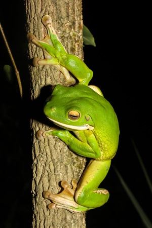 largest tree: The white-lipped tree frog, also known as the giant tree frog, is the worlds largest tree frog. This species is native to the rainforests of Northern Queensland, New Guinea, the Bismarck Islands. Stock Photo