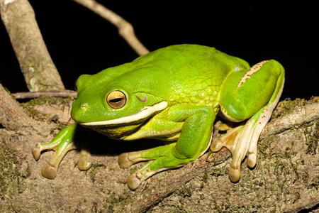 The white-lipped tree frog, also known as the giant tree frog, is the worlds largest tree frog. This species is native to the rainforests of Northern Queensland, New Guinea, the Bismarck Islands. Stock Photo