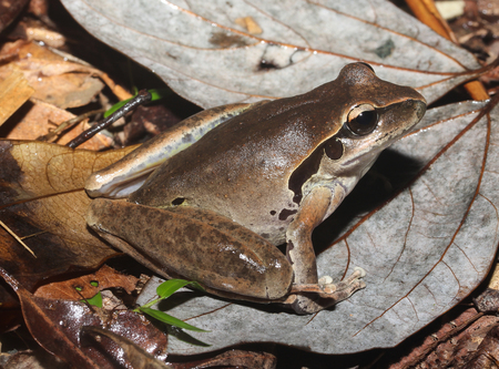 threatened: Litoria jungguy is a species of frog in the Hylidae family, endemic to Australia. Its natural habitats are subtropical or tropical moist lowland forests and rivers, and is threatened by habitat loss.