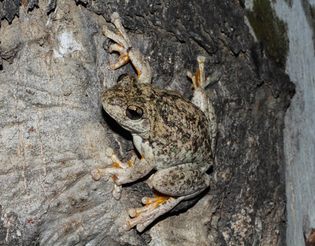 maniacal: Perons tree frog, the emerald-spotted tree frog, the emerald-speckled tree frog, the laughing tree frog, or the maniacal cackle frog is a common Australian tree frog of the Hylidae family.