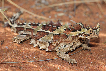 The thorny dragon or thorny devil is an Australian Lizard, also known as the mountain devil, the thorny lizard, or the moloch. This is the sole species of genus Moloch. Stock Photo