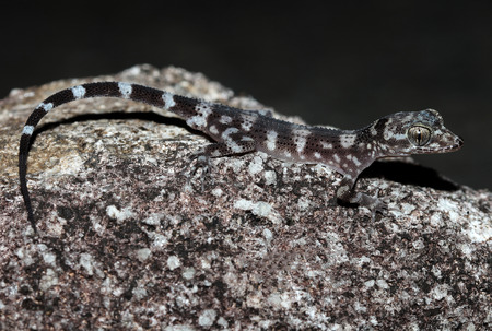 studied: Australian nactus (lat. Nactus galgajuga) is a lizard from the family geckos. Rare and poorly studied species with a small range.