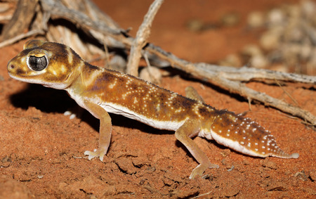 levis: Nephrurus levis is a species of geckos of the family Carphodactylidae.