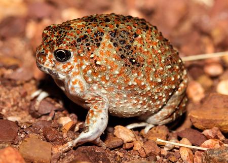 rana arvalis: Notaden is a genus of amphibians of the family Limnodynastidae.