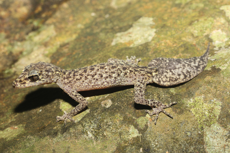 omnivore: Phyllurus isis is a species of gecko of the family Carphodactylidae. Stock Photo