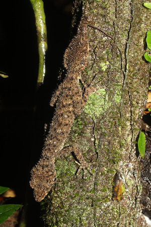 omnivore animal: Phyllurus nepthys is a species of gecko of the family Carphodactylidae. Stock Photo