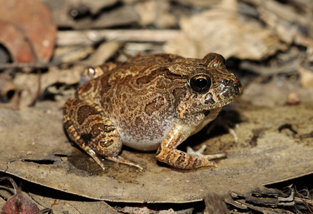 The ornate burrowing frog, is a species of ground frog native to Australia. It was moved to the genus Opisthodon in 2006, following a major revision of amphibians. Stok Fotoğraf