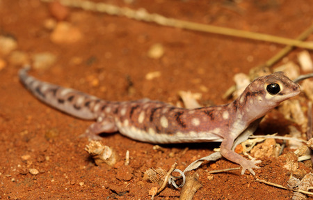bugaboo: Rhynchoedura ornata is a species of gecko in the family Diplodactylidae. Stock Photo