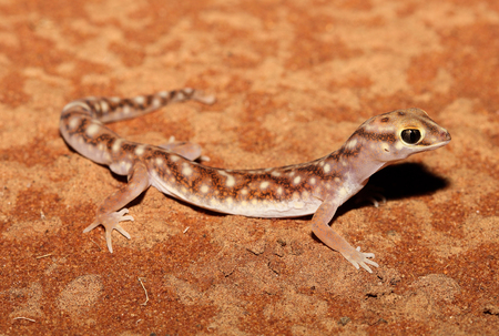 bugaboo: Rhynchoedura eyrensis is a species of gecko in the family Diplodactylidae.