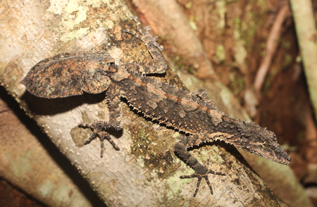 cryptic: Saltuarius cornutus is a species of gecko of the family Carphodactylidae.