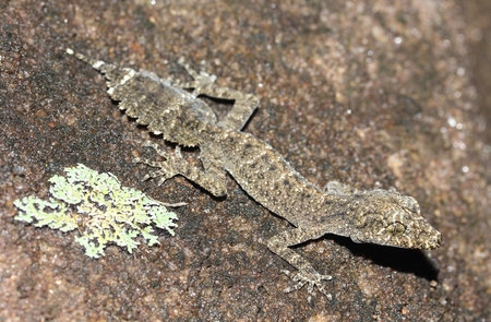 cryptic: Saltuarius kateae is a species of gecko of the family Carphodactylidae. Stock Photo