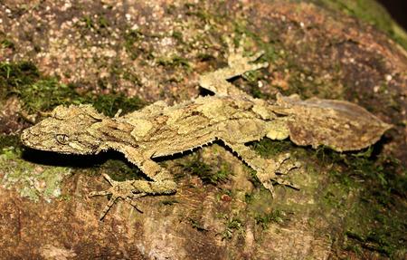 cryptic: Saltuarius swaini is a species of geckos of the family Carphodactylidae. Stock Photo