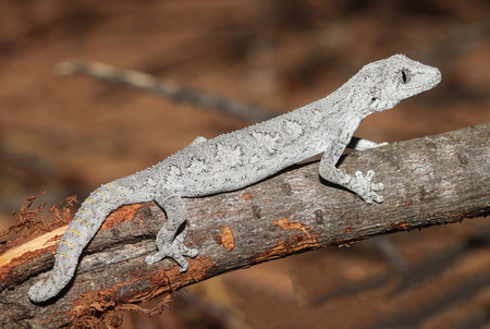 reptilian: Strophurus strophurus is a species of gecko in the family Diplodactylidae.