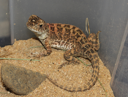 torrid: Tympanocryptis pinguicolla is a species of saurians of the family of Agamidae.