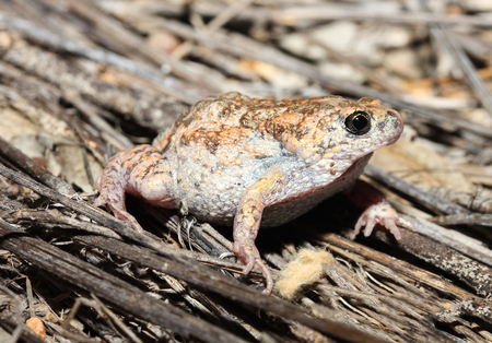 amphibians: Uperoleia is a genus of amphibians of the family Myobatrachidae. Stock Photo