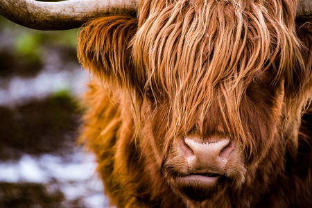 Scottish Highland cattle typically found on the Isle of Mull. Stock Photo