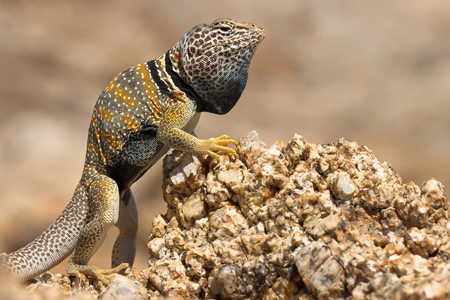 The Great Basin collared lizard, also known as the desert collared lizard or the Mohave black collared lizard is a species of lizard of the Western United States.