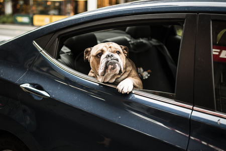 retreiver: A dog looks out of the rear window of a car Stock Photo