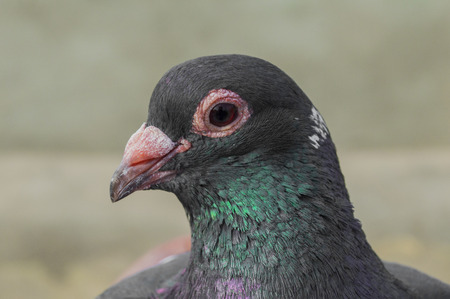 pidgeon: A dove with a green tint on the neck close-up
