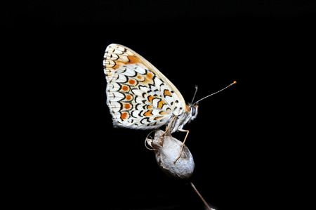 Butterfly on dried flower isolated on a black background